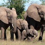 Elephants Are Empathetic & Emotional